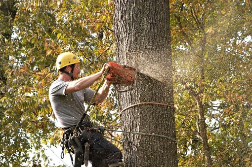 Picture of our tree climber using a chainsaw for tree trimming in Grand Rapids, MI